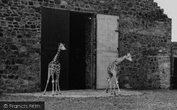 Chester Zoo, The Young Giraffes c.1955
