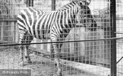 The Zebra c.1950, Chester Zoo