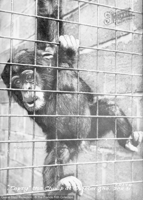 Photo of Chester Zoo, Topsey The Chimp c.1930