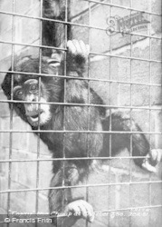 Chester Zoo, Topsey The Chimp c.1930