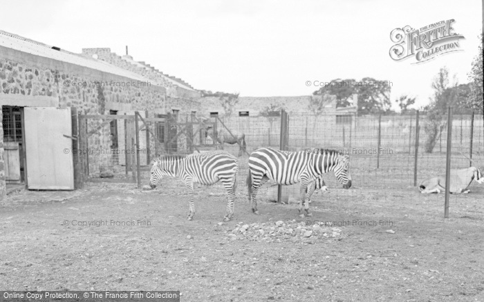 Photo of Chester Zoo, Zebra And Foal 1957