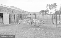 Chester Zoo, Zebra And Foal 1957