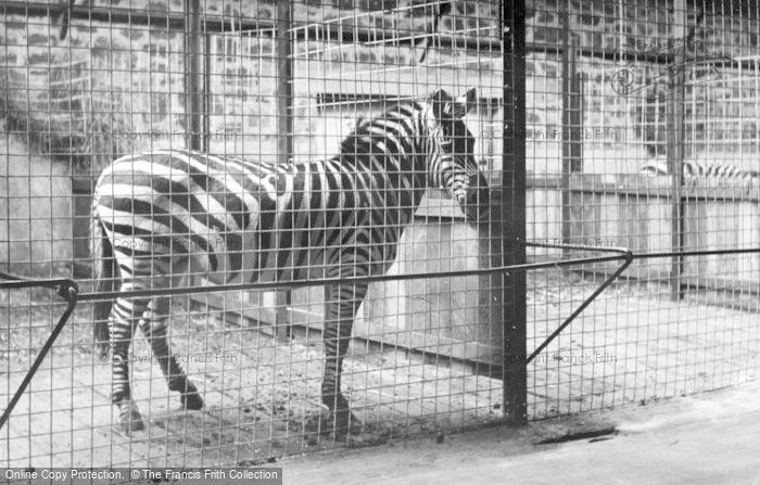 Photo of Chester Zoo, Zebra c.1955