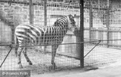 Chester Zoo, Zebra c.1955