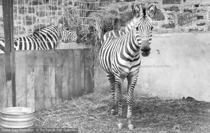 Photo of Chester Zoo, Zebras c.1955