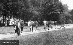 Cirencester, Park, Oxen Team 1898