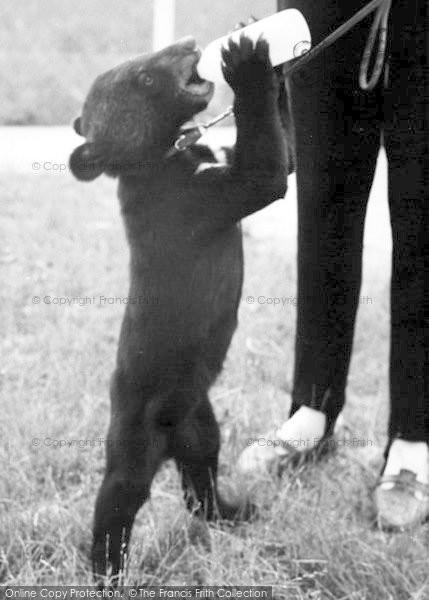 Photo of Cleethorpes Zoo, Baby Bear c.1965
