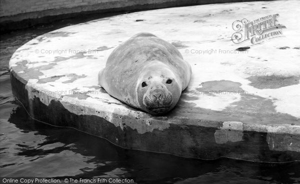 Cleethorpes Zoo, Elephant Seal c1965