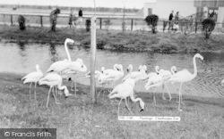 Cleethorpes Zoo, Flamingoes c.1965