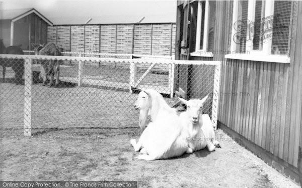 Photo of Cleethorpes Zoo, Goats At Pets Corner c.1965