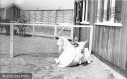 Cleethorpes Zoo, Goats At Pets Corner c.1965