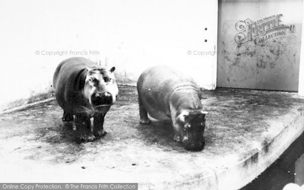 Photo of Cleethorpes Zoo, Hippopotamus c.1965