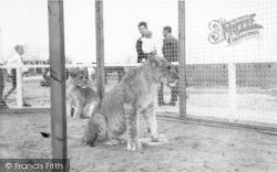 Cleethorpes Zoo, Lions c.1965