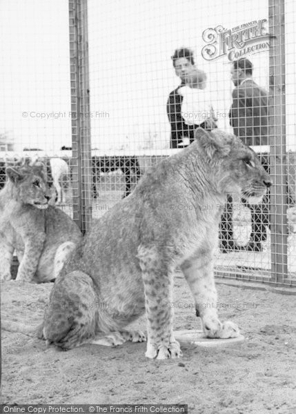 Photo of Cleethorpes Zoo, Lions c.1965