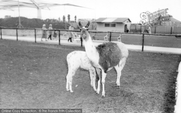 Photo of Cleethorpes Zoo, Llamas c.1965