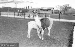 Cleethorpes Zoo, Llamas c.1965