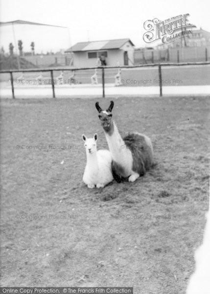 Photo of Cleethorpes Zoo, Llamas c.1965