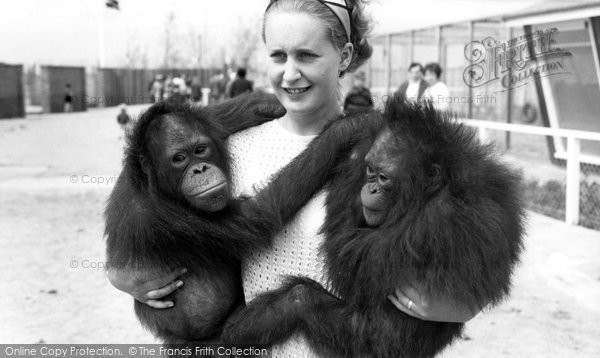 Photo of Cleethorpes Zoo, Orangutans c.1965