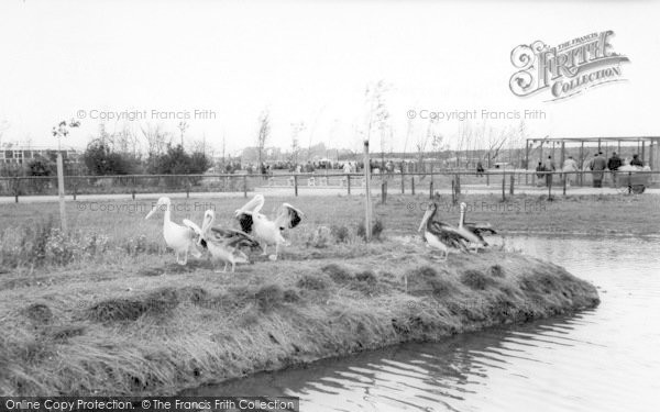 Photo of Cleethorpes Zoo, Pelicans c.1965