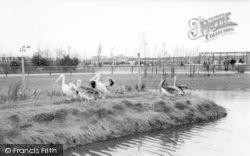 Cleethorpes Zoo, Pelicans c.1965