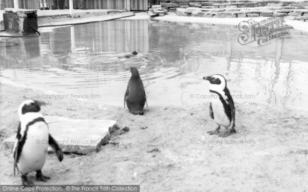 Photo of Cleethorpes Zoo, Penguins c.1965