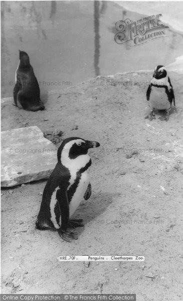 Photo of Cleethorpes Zoo, Penguins c.1965