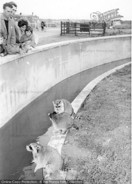 Photo of Cleethorpes Zoo, Raccoons c.1965