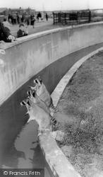 Cleethorpes Zoo, Raccoons c.1965