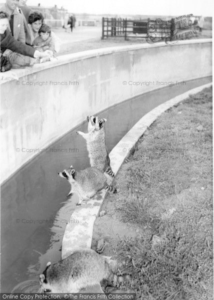 Photo of Cleethorpes Zoo, Raccoons c.1965