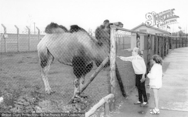 Photo of Cleethorpes Zoo, The Camel c.1965