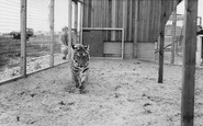 Cleethorpes Zoo, the Tiger c1965