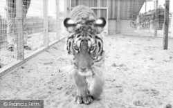 Cleethorpes Zoo, The Tiger c.1965