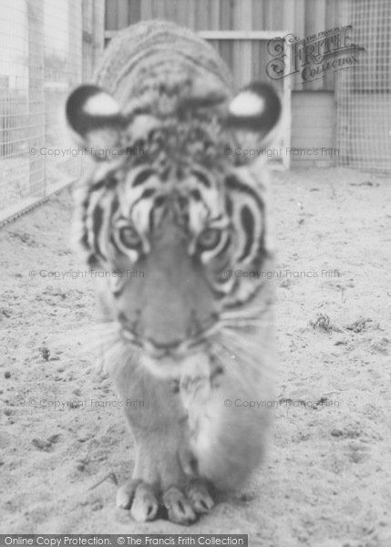Photo of Cleethorpes Zoo, The Tiger c.1965