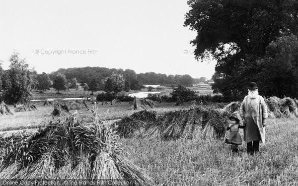 Photo of Coltishall, A Cornfield 1902