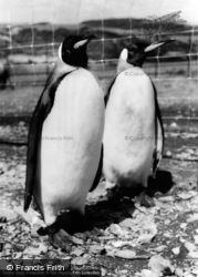 Colwyn Bay, The Welsh Mountain Zoo, King Penguins c.1963