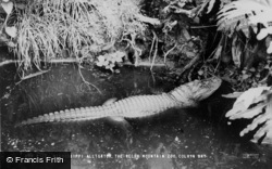 Colwyn Bay, The Welsh Mountain Zoo, Mississippi Alligator c.1963