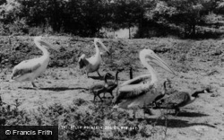Colwyn Bay, The Welsh Mountain Zoo, Pelicans c.1963