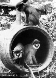 Colwyn Bay, Welsh Mountain Zoo, Mona And Spot Nosed Monkeys c.1963