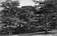 Cremyll, Mount Edgcumbe, Cedars c.1873