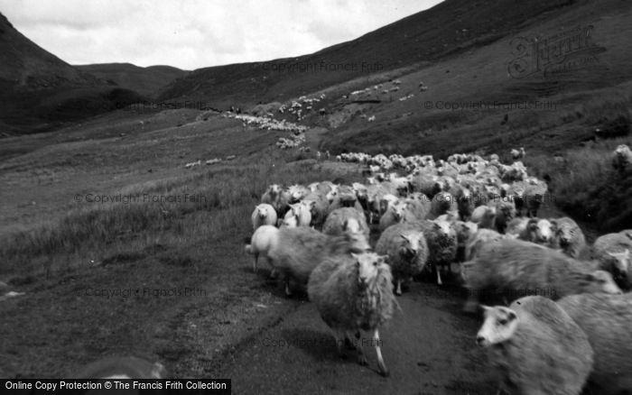 Photo of Cwmystwyth, Sheep On A Track Towards Llangurig 1961