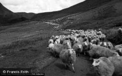 Sheep On A Track Towards Llangurig 1961, Cwmystwyth