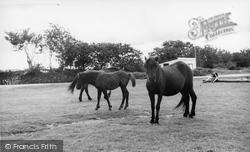Dartmeet, Dartmoor Ponies c.1960