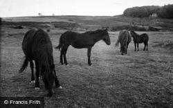 Dartmoor Ponies c.1960, Dartmoor