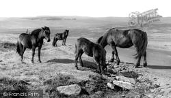 Dartmoor, Dartmoor Ponies c.1960