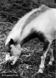 Dartmoor Pony c.1960, Dartmoor