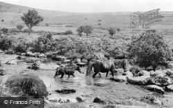 Ponies Crossing The Stream c.1950, Dartmoor