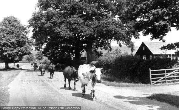 Photo of Dunsfold, Cows In The Village c.1955