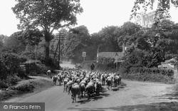 East Barsham, Sheep On The Fakenham Road 1929