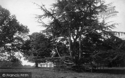 East Budleigh, Cedars At Bicton House 1890