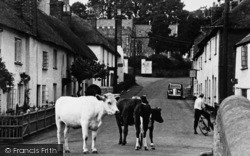 East Budleigh, Cows In High Street c.1955